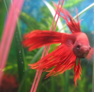 Польза аквариумных рыбок